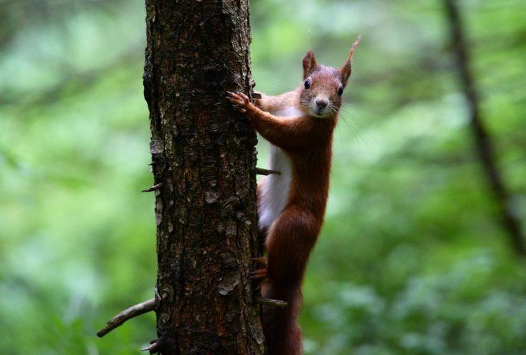 Een eekhoorn in het zuiden van Duitsland. Deze is zover bekend onschuldig. Beeld afp