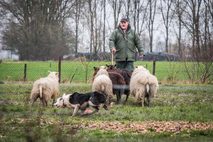 Deelnemer aan het EK schapen drijven, dat afgelopen weekeinde werd gehouden in Renkum en Heteren.  In die laatste plaats werden zondag de finales gehouden.