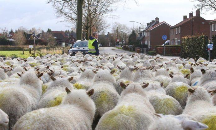 Tweehonderd schapen door de straten van Helvoirt.