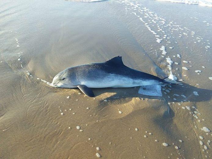 Op het strand bij Kijkduin is vandaag een bruinvis aangespoeld, het dier overleefde het niet