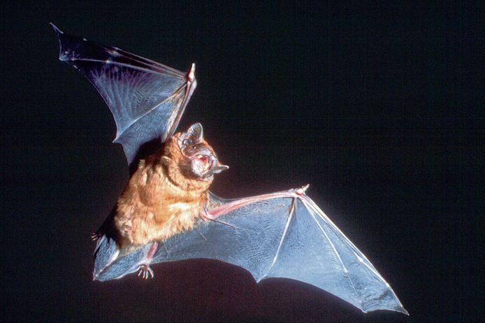 Een rosse vleermuis, een vleermuizensoort die in gevels van woningen nestelt.