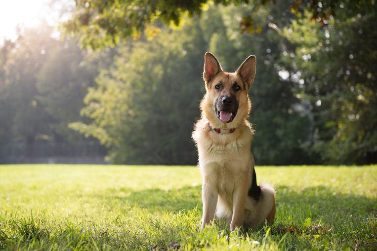 Duitse herdershond Beeld Getty Images/iStockphoto