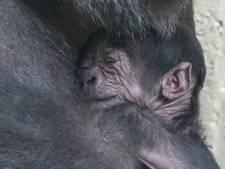 Joepie, het is een jongetje! Gorillababy Apenheul wacht nu alleen nog op een naam