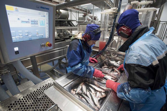 Het productieproces van de Hollandse Nieuwe in Noorwegen. Verwerking van de haring in de visfabriek.