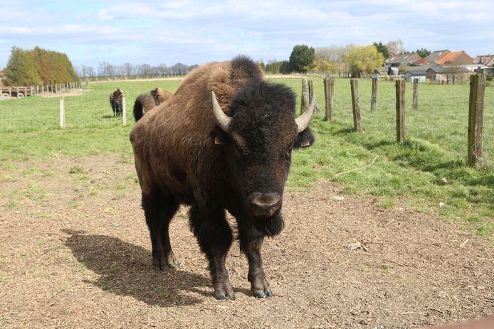 Een van de bizons komt even poseren voor de lens.