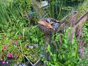 Een voedselbankje met rot fruit voor vlinders