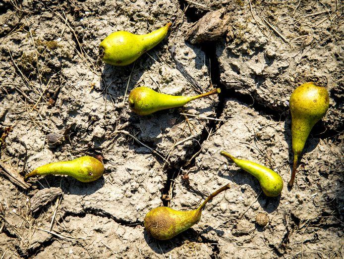 De extreme droogte speelde de fruitoogst vorig jaar flink parten.
