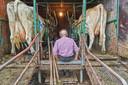 Ties Somers uit Vorstenbosch neemt een momentje rust tijdens het melken in zijn oude melkkar op het platteland tussen Vorstenbosch en Loosbroek.