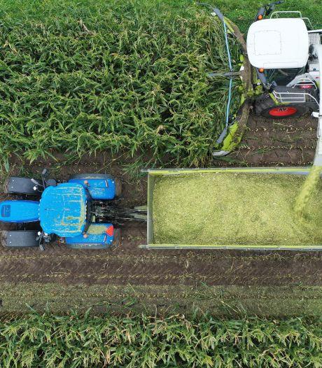 De mais gaat later van het veld, grens van 1 oktober knelt
