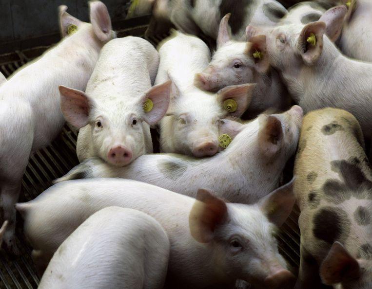 NLD20050517-LISSE: Groep varkens in stal op boerderij. ANP FOTO LEX VAN LIESHOUT Beeld Volkskrant Fotoredactie