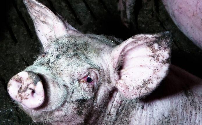 Het varken heeft ontstoken ogen door hoge gasconcentraties in de stallen.