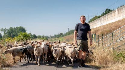 Infrabel heeft zijn schaapjes op het droge (gras)