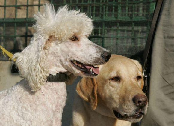 Een poedel en een labrador.