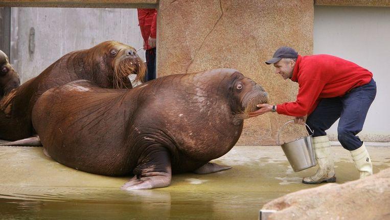 De walrussen Natasja, Igor en Nikolai in het Dolfinarium. (Archieffoto 2005) Beeld anp