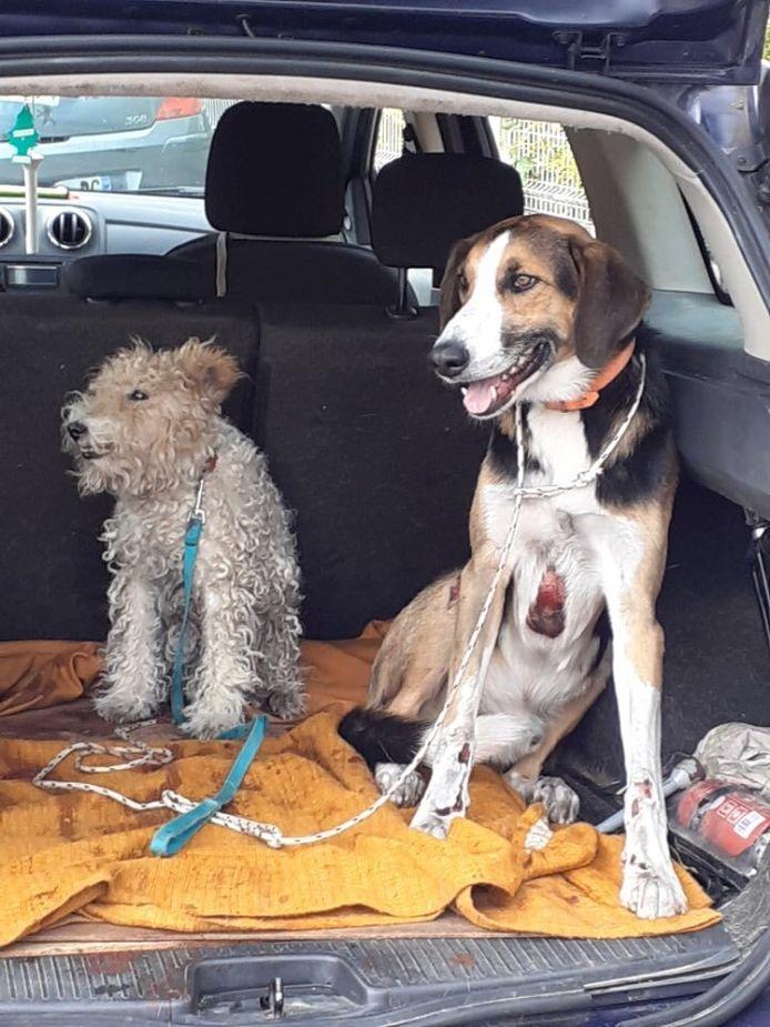 De honden zijn er bijzonder slecht aan toe, meldt de dierenorganisatie Action Protection Animale.