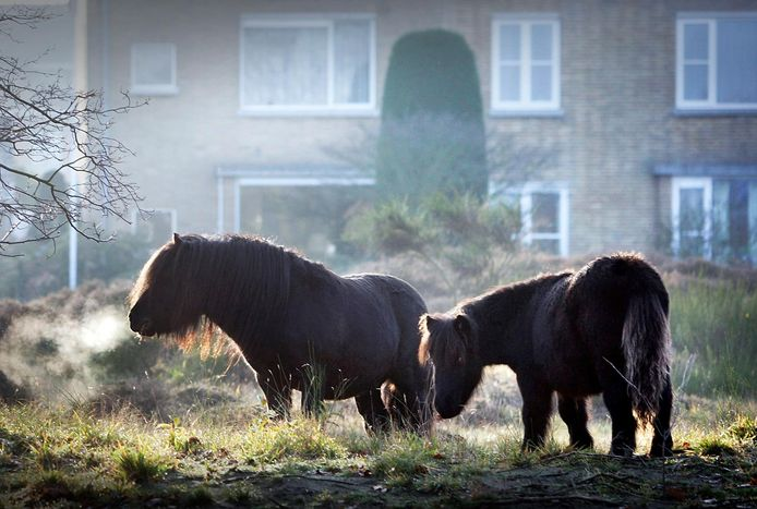 Ponys in Wapendal.