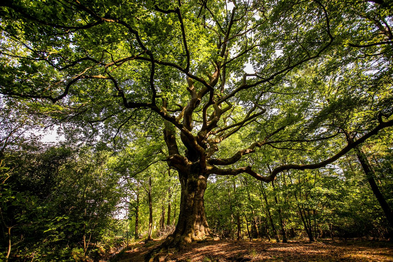De winnende 'Heksenboom van Zwarte Kaat' in Bladel.
