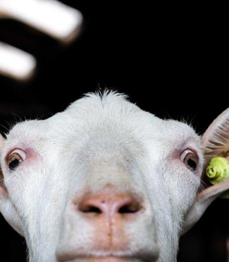In Hurwenen staan al jaren te veel volwassen geiten op stal