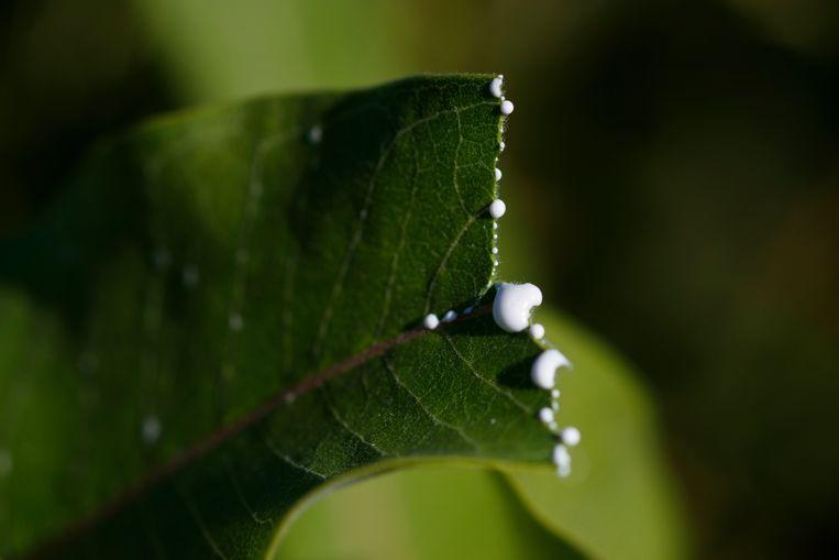 Bomen in de VS gingen niet dood door een gebrek aan water in de grond, maar in de lucht. Beeld AP/Carolyn Kaster