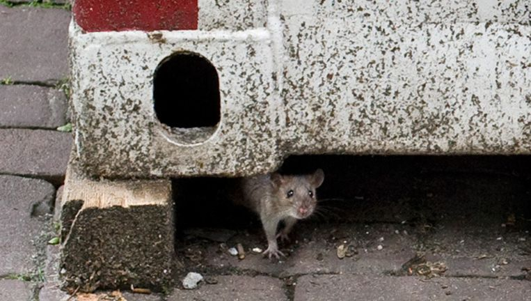 Een rat op de Insulindeweg. Deze loopt op straat, maar ze zitten ook op tweehoog, zeggen bewoners - en het zijn er veel. © Marjolijne Perquin Beeld