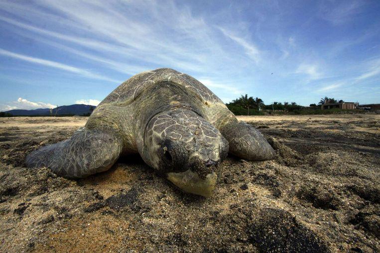 Een zeeschildpad komt aan land tijdens de paartijd.  Beeld afp