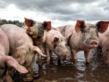 Twentse varkenshouders melden zich voor saneringsregeling: 'Vooruitzichten zijn niet best'