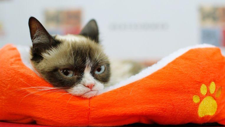 Grumpy Cat is waarschijnlijk de best verdienende kat van het internet: zijn baasje is nu multimiljonair. Beeld anp