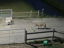 Dna liegt niet: 'Onze wolf' Billy doodgeschoten in Frankrijk