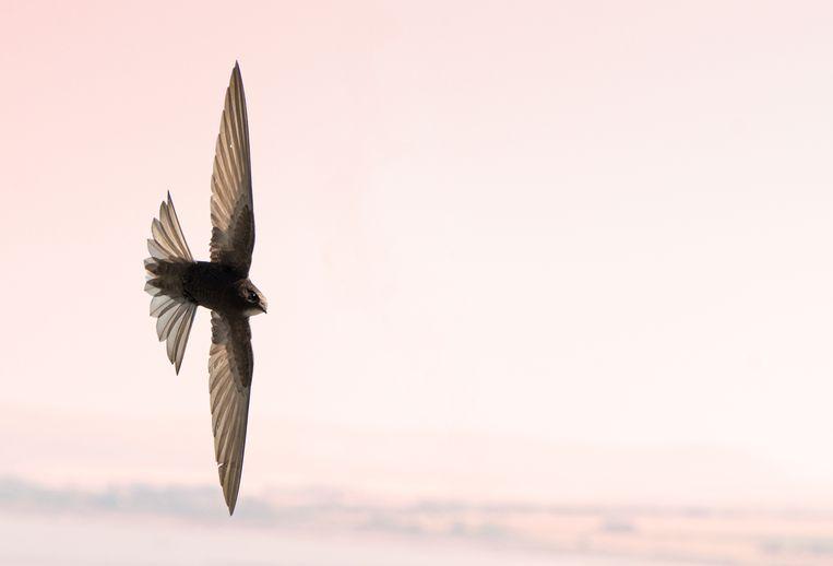 Gierzwaluw in volle vlucht. Een volwassen exemplaar kan per dag wel rond de duizend muggen verorberen.  Beeld Shutterstock