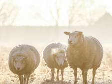 Elke week tientallen schapen onverdoofd afgemaakt in illegaal slachthuis: justitie wil 50.000 euro boete