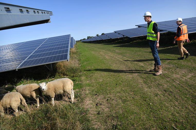 Tussen de panelen lopen schapen 'zodat het er nog een beetje als een boerderij uitziet'. Beeld Marcel van den Bergh / de Volkskrant