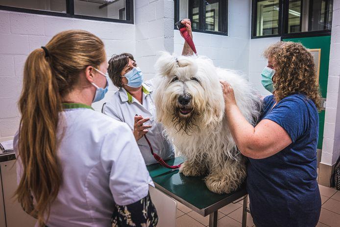 Paddy wordt klaargestoomd voor z'n bloeddonatie, maar het lijkt 'm allemaal niet te deren. Hij is een van de weinige honden die niet onder verdoving doneert.