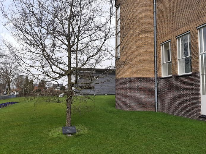 De Nothofagus antarctica ofwel schijnbeuk die Loek Dijkman en Sylvia de Munck in 2012 kregen van het tuinpersoneel van Het Depot.