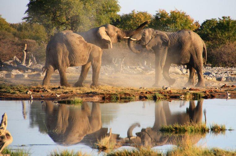 Olifanten in Namibië.