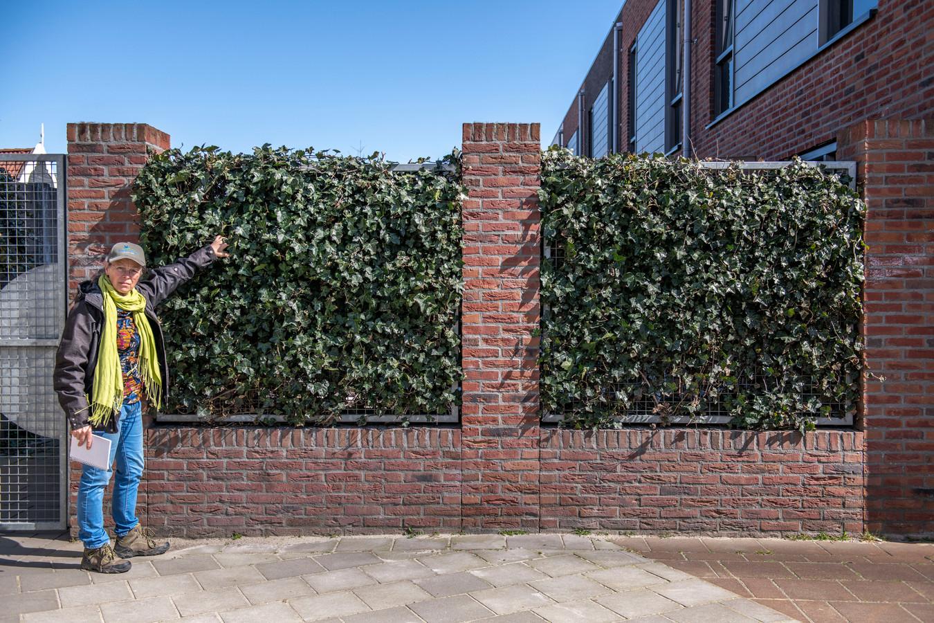 Hendrike Huismans bij een vogelvriendelijke erfafscheiding: klimop over een hek.