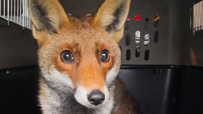 Vos 8 jaar opgesloten in garage: dier herstelt nu in opvangcentrum in Geraardsbergen