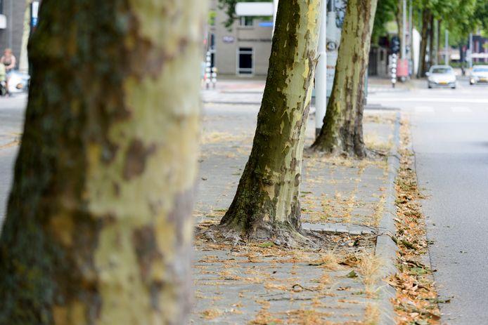 Platanen op de Stratumsedijk in Eindhoven verliezen hun schors, maar er is nog geen reden voor paniek.
