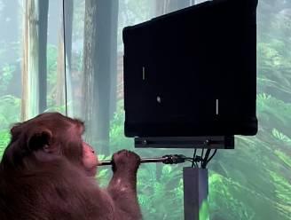 Onwaarschijnlijke beelden tonen hoe aapje computerspel speelt met zijn hersenen, dankzij een chip van Elon Musk