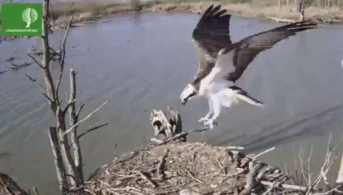 De visarend landt op het nest in de Brabantse Biesbosch.