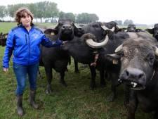 De 200 buffels van Monique leveren melk, ijs, bonbons en mozzarella: 'En ze vinden het leuk om te knuffelen'