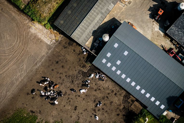 Dronefoto van een boerderij met koeien in het Brabantse Someren Beeld Rob Engelaar / ANP