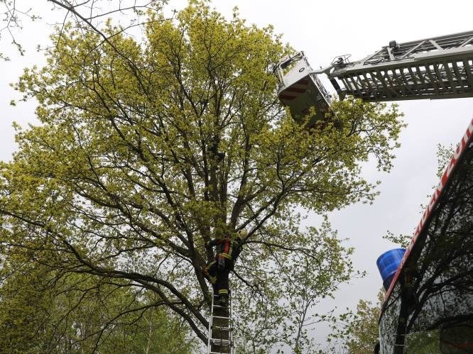 Vrouw zit half uur lang op zeven meter hoogte vast in boom, nadat ze haar kat probeert te redden