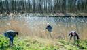 De dijk langs de Horstertocht in Zeewolde staat vol met reuzenberenklauw. Verspreiding van de zaden gebeurt vooral via water of via menselijke activiteiten, de zaden blijven plakken aan kleding en machines.