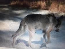Le deuxième loup observé en Flandre est un mâle
