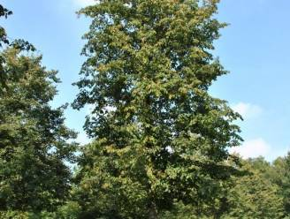 Statige sierboom komt in plaats van geliefde kastanjeboom in Kooigem