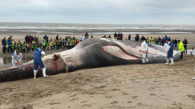 Un rorqual de 18 mètres s'échoue sur la plage du Coq
