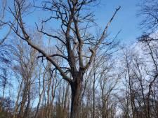 Stokoude, dode boom mag nog poosje blijven staan in slotbos bij Haamstede