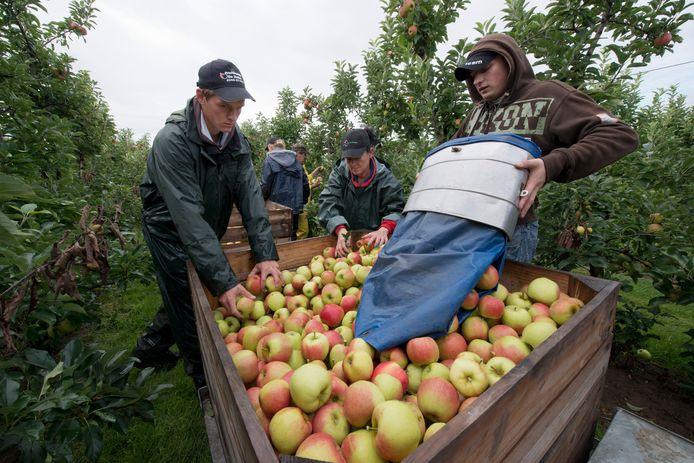 Poolse werkmensen helpen bij de oogst van elstar-appels. Vaak beheersen de werkgevers het complete leven van de arbeidsmigrant.
