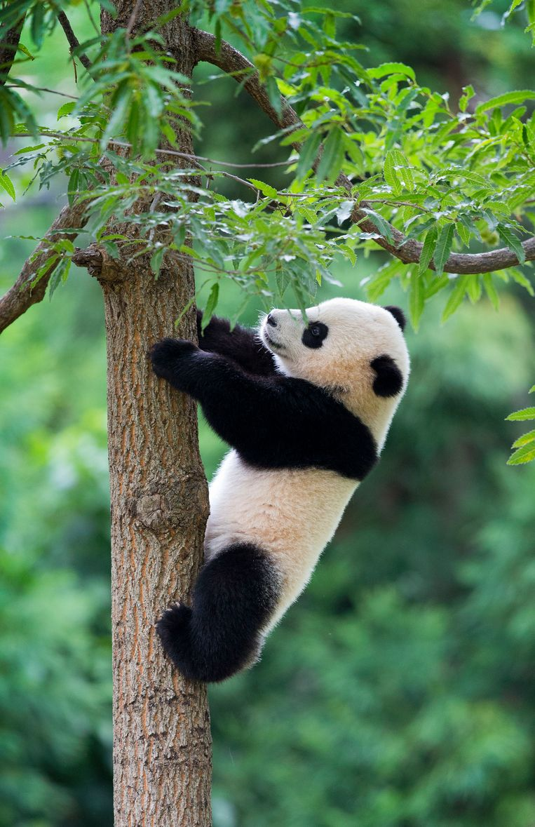 Panda cub Bao Bao climbs down from a tree in her habitat at the National Zoo in Washington, Saturday, Aug. 23, 2014. Today marks her first birthday and the the zoo is marking the event with a traditional 'Zhuazhou' ceremony, a Chinese birthday tradition symbolizing long life to mark the event. (AP Photo/Pablo Martinez Monsivais) Beeld AP