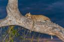 """Jachtluipaard in Botswana, mei 2012. """"Dit jachtluipaard zat op een bepaald moment een aap op te eten onder ons kamp."""""""